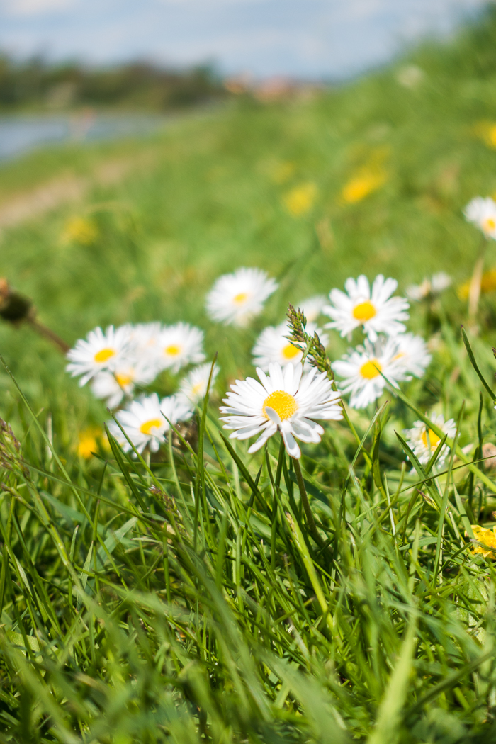 Gänseblümchen an den Elbwiesen