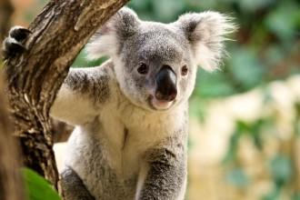 Koala Mullaya Simone Hofmann